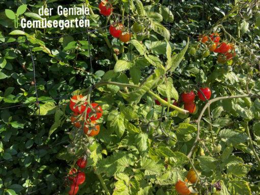 Tomaten Ende September