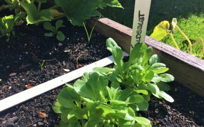 Feldsalat:  ideal für Frühjahr und Herbst