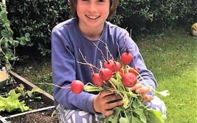 Riesenradieschen – das Ernteerlebnis für die ganze Familie