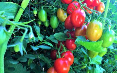 Kirschtomaten: Geliebte Diva mit üppiger Ernte