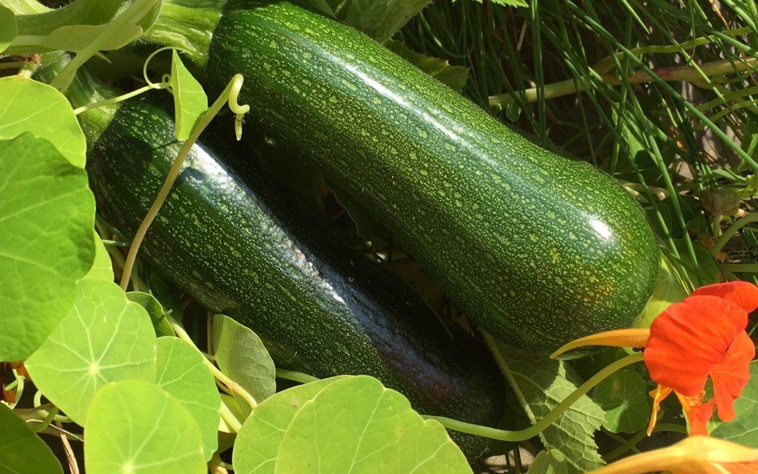 Hochgenuss: Kletterzucchini im Genialen Gemüsegarten