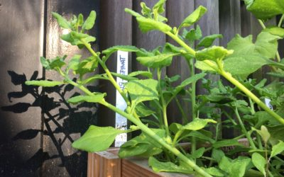 Neuseeländer Spinat: Enorm ertragreich und die Alternative für Spinat