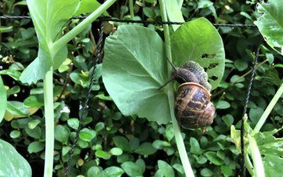 Schneck-Attack im Genialen Gemüsegarten