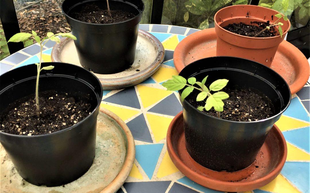 Gewöhne deine Jungpflanzen schrittweise an die Freiluft